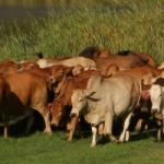 Boran Cows